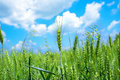 Green Wheat Field Stock Photography - 55033792