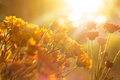 Flowers Vibrant At Sunrise, Warm Color Tone, Soft Focus And Blur Stock Photos - 55067683