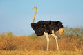 Ostrich With Chicks Stock Photo - 55090130