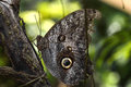 Caligo Eurilochus - The Forest Giant Owl. Butterfly Royalty Free Stock Images - 55119889