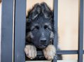 Very Sad Puppy In Shelter Cage Royalty Free Stock Images - 55132079