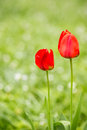 Red Tulips Royalty Free Stock Photography - 55143817