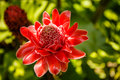 Torch Ginger Flower Royalty Free Stock Photography - 55145437