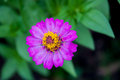 Zinnia Stock Photo - 55146650