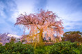 Maruyama Park In Spring Royalty Free Stock Images - 55151859