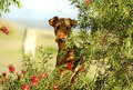 Its A Dogs Life. Big Cheeky Playful Airedale Terrier Playing On Country Farm Stock Image - 55154981