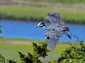 Yellow-crowned Night Heron Flying Royalty Free Stock Photography - 55163757
