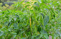 Thai Peppers Plant Royalty Free Stock Images - 55171849