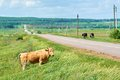 Cows Graze In The Meadow Along The Road Stock Photos - 55205913