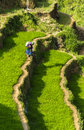 A Farmer On Rice Field In Vietnam Royalty Free Stock Photo - 55210635