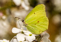 A Brimstone Butterfly On Hespiris Stock Images - 55227394