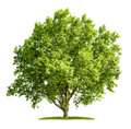 Isolated Plane Tree On A White Background Stock Images - 55227764