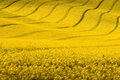 Yellow Spring Landscape.Rapeseed Field With Wavy Abstract Landscape Pattern Stock Image - 55256891