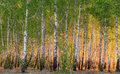 Spring Birch Trees In Sunlight Royalty Free Stock Image - 55288176