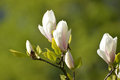 The Blossoming Magnolia Of Sulanzha (Magnolia ×soulangeana Soul Stock Images - 55288934