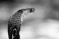 Indian Cobra Royalty Free Stock Image - 55291396