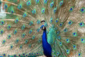Peacock Dance Attracting Peahen Stock Photo - 5534720