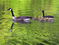 Geese Swimming With Goslings Royalty Free Stock Photo - 5537735