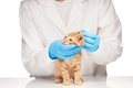Veterinarian Checks Ears To A Small Ginger Kitten Royalty Free Stock Image - 55309596