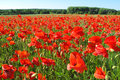Red Poppies Royalty Free Stock Images - 55311689