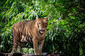 Face And Full Body Of Bengal Tiger Approach In Wild Stock Photo - 55317830