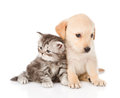Golden Retriever Puppy Dog And British Tabby Cat Sitting Togethe. Isolted Stock Photo - 55341610