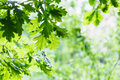 Natural Background - Green Oak Leaves In Woods Stock Image - 55418321