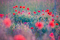 Poppies Field Royalty Free Stock Photo - 55421925