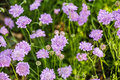 Scabiosa Stock Images - 55424134