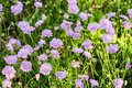 Scabiosa Stock Images - 55424724