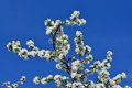 Blooming Apple Tree Royalty Free Stock Photography - 55439337