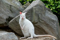 Closeup Of A Red-necked Wallaby White Albino Female Stock Photography - 55451432