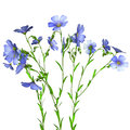 Flax Plant Royalty Free Stock Photos - 55455388