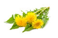 Dandelion Royalty Free Stock Images - 55466729