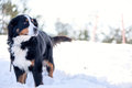 Bernese Mountain Dog In The Snow Stock Photography - 55470222