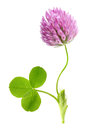 Green Clover Leaf And Flower Isolated Royalty Free Stock Photos - 55472448