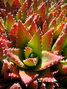 Red And Green Cactus Stock Photography - 5558452