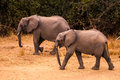 Wild African Elephant Royalty Free Stock Images - 55512689