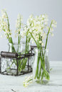 Lily Of The Valley Stock Images - 55513434
