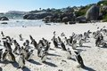 African Penguins In Boulders Beach Royalty Free Stock Image - 55521846