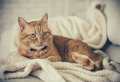 Ginger Cat Royalty Free Stock Photography - 55529837