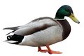 Colourful Mallard Duck Isolated On White Stock Photography - 55533902