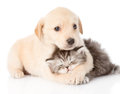 Golden Retriever Puppy Dog Hugging British Cat. Isolated Royalty Free Stock Photography - 55537777
