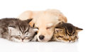 Golden Retriever Puppy Dog Sleep With Two British Kittens. Isolated Stock Photo - 55537780
