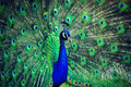 Peacock Royalty Free Stock Image - 55537876