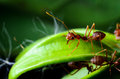 Red Ants Stock Images - 55540364