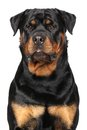 Portrait Of A Purebred Rottweiler Stock Photo - 55550670