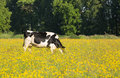 Cow In Meadow Royalty Free Stock Photography - 55552107