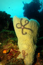 Basket Sea Star On Sponge In Coral Reef Scene Royalty Free Stock Photography - 55560967