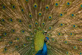 Indian Peafowl Stock Images - 5561264